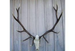 European Antler Mounts