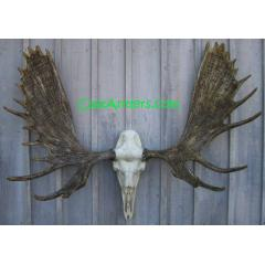 Cast Alaskan Moose European Mount
