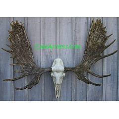 Cast Alaskan Moose European Mount