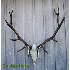 Cast Elk European Mount