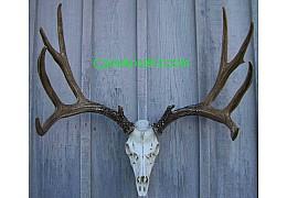 Cast Mule Deer European  Mount
