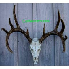 Cast Whitetail Deer European Mount