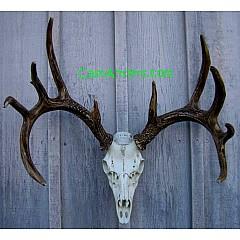 Cast Whitetail Deer European Mount