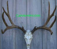 Click Here for European Antler Mounts