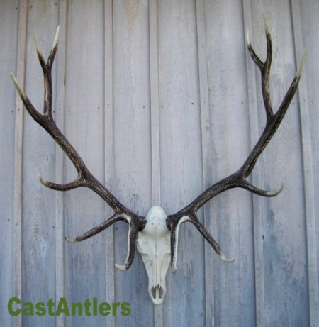 European Antler Mounts Cast Elk European Mount Rustic