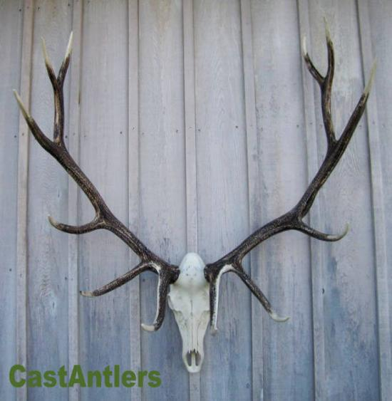 Cast Elk European Mount