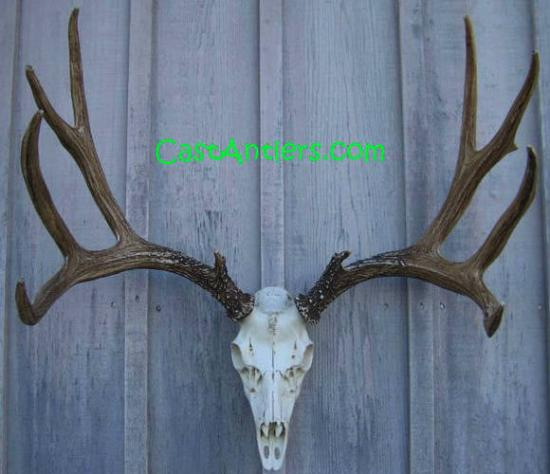 Cast Mule Deer European  Mount